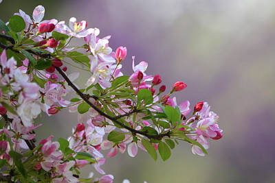 Blossoms And Bokeh Poster by Ann Bridges