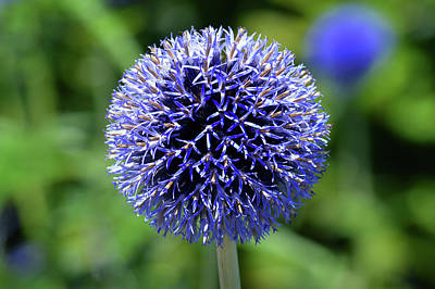Poster featuring the photograph Blue Allium by Terence Davis