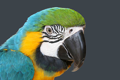 Blue And Gold Macaw Digital Freehand Painting Poster by Ernie Echols