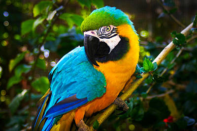 Blue And Gold Macaw Poster by Dolly Sanchez