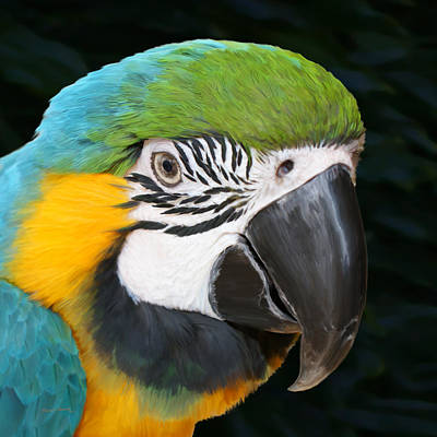 Blue And Gold Macaw Freehand Painting Square Format Poster by Ernie Echols