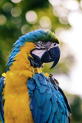 Blue And Gold Macaw Poster by Happy Home Artistry
