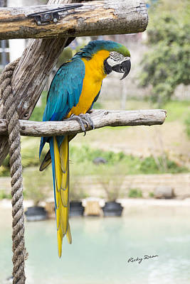 Blue And Gold Macaw Poster by Ricky Dean