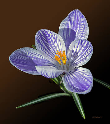Blue And White Crocus Poster by Brian Wallace