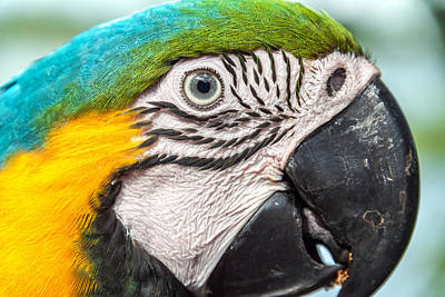 Blue And Yellow Macaw Face Poster by Jess Kraft