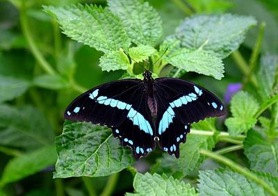 Blue Banded Swallowtail Butterfly Poster