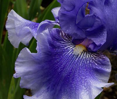 Blue Bearded Iris Poster by Jean Noren