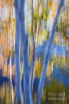 Blue Birches By The Lake Poster