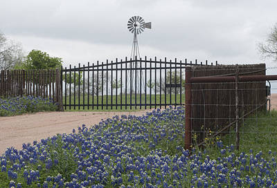 Blue Bonnets By Gate Poster