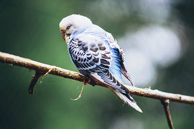 Blue Budgerigar Poster by Pati Photography
