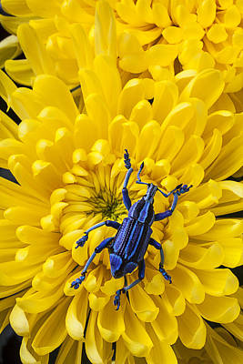 Blue Bug On Yellow Mum Poster by Garry Gay