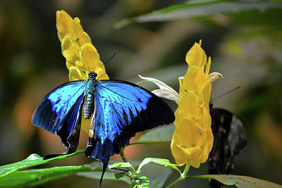 Blue Beauty Butterfly Poster