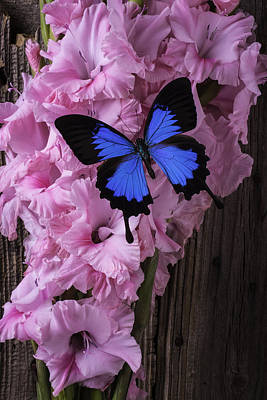 Blue Butterfly On Glads Poster by Garry Gay