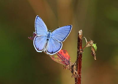 Blue Butterfly On Leaf Poster
