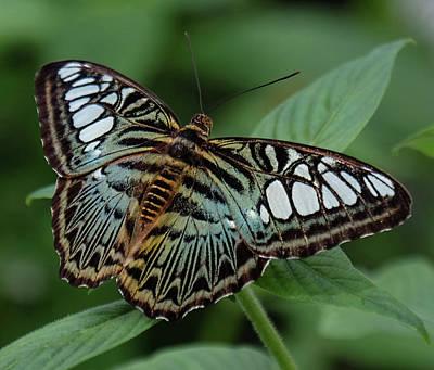 Blue Clipper Butterfly Open Poster