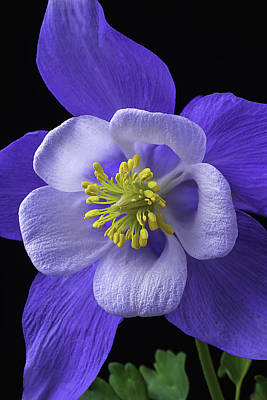 Blue Columbine Poster by Garry Gay