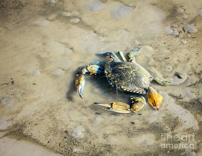 Poster featuring the photograph Blue Crab by Sandy Adams