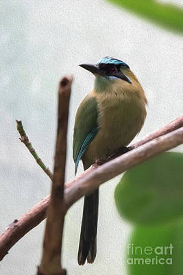 Blue-crowned Motmot Oil Poster