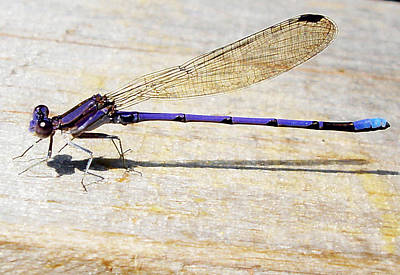 Poster featuring the photograph Blue Damselfly by Margie Avellino