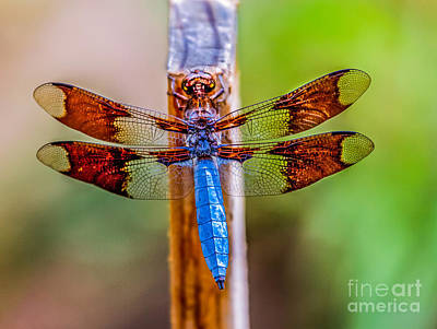 Blue Dragonfly Poster by Robert Bales