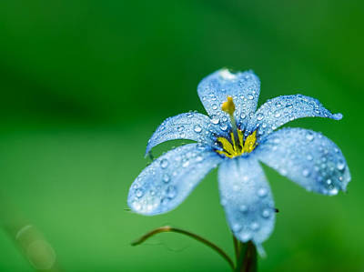 Blue Eyed Grass Flower Poster