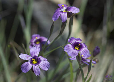 Blue Eyed Grass Poster