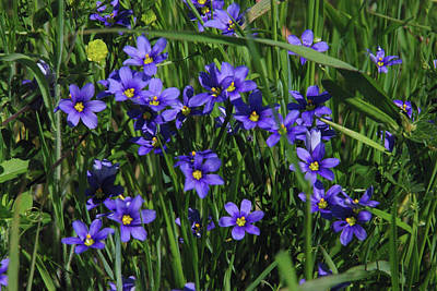 Poster featuring the photograph Blue Eyed Grass by Robyn Stacey