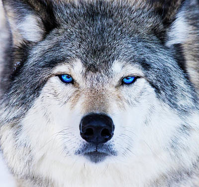 Poster featuring the photograph Blue Eyed Wolf Portrait by Mircea Costina Photography