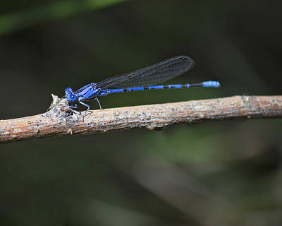Blue-fronted Dancer Poster