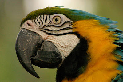 Blue Gold Macaw South America Poster