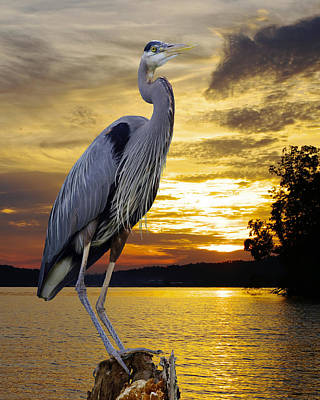 Blue Heron At Sunset Poster by Ron Kruger
