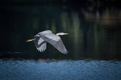 Blue Heron Flying Poster
