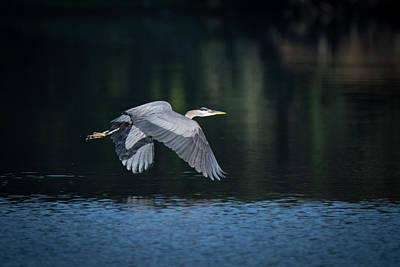 Blue Heron Flying Poster