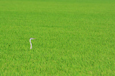 Blue Heron In Field Poster by Josephine Buschman