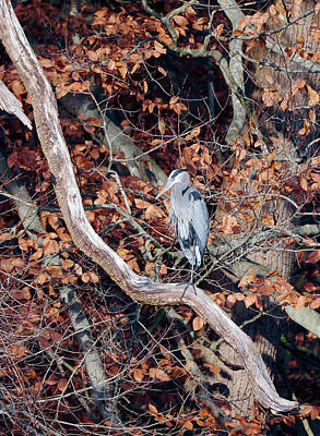 Blue Heron In Tree Poster