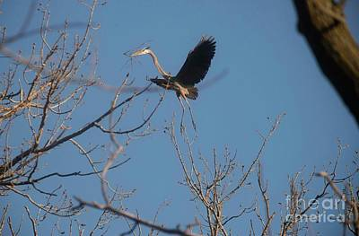Poster featuring the photograph Blue Heron Landing by David Bearden