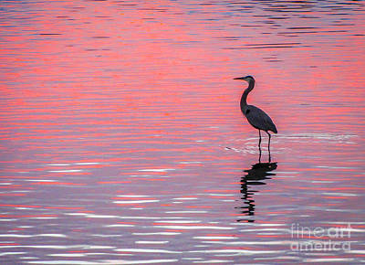 Blue Heron - Pink Water Poster by Tom Claud