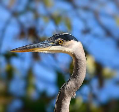 Blue Heron Profile Poster