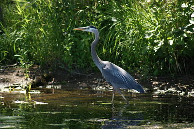 Poster featuring the photograph Blue Heron by Ron Read