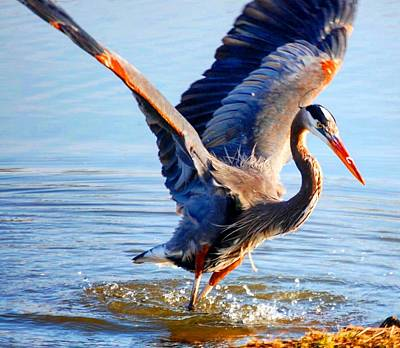 Poster featuring the photograph Blue Heron by Sumoflam Photography