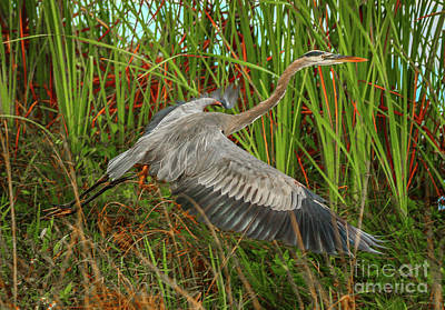 Blue Heron Take-off Poster