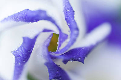 Blue Inspiration. Lisianthus Flower Macro Poster by Jenny Rainbow