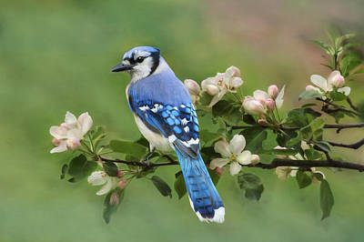 Blue Jay And Blossoms Poster by Lori Deiter
