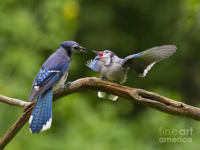 Blue Jay Fledgling Begs For Food Poster by Marie Read