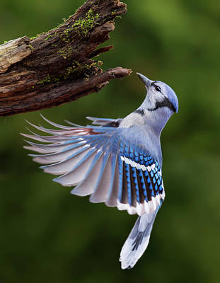 Poster featuring the photograph Blue Jay In Flight by Mircea Costina Photography