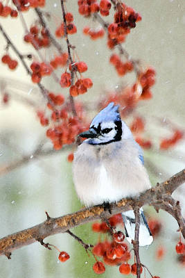 Blue Jay In Snowfall 2 Poster by Betty LaRue