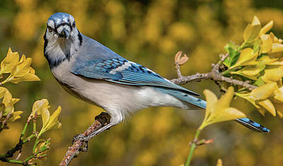 Blue Jay In Yellow Spring Poster