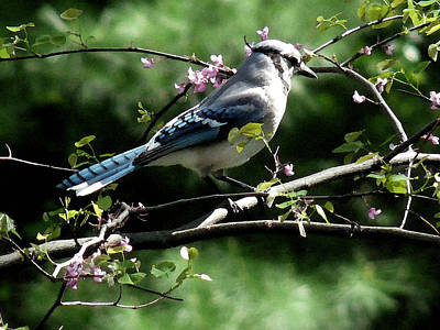 Blue Jay On Red Bud Tree Poster