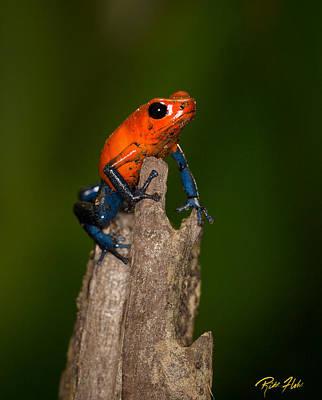 Blue Jeans Poison Dart Frog Poster by Rikk Flohr