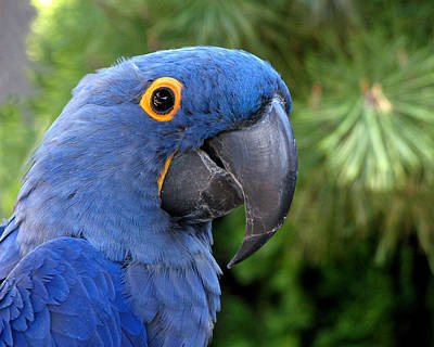 Blue Macaw Parrot Poster